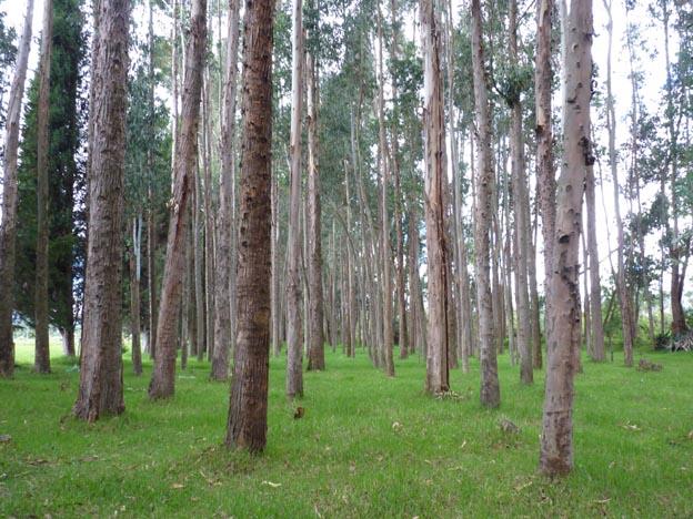 Det fanns en skog med lustiga träd på Patricias mark.